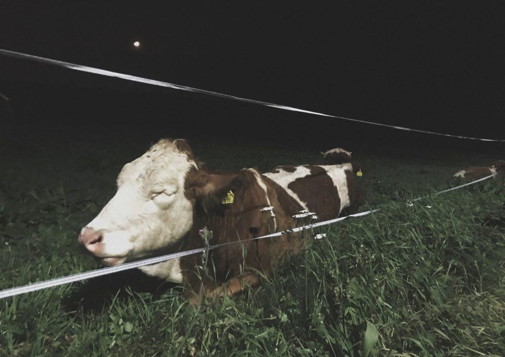 Photoshoot_Cow